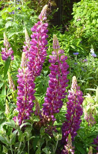 purple lupin (Lupinus)