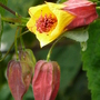 Abutilon_kentish_belle_.1