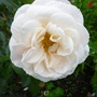 Rose 'Champagne Moment'
