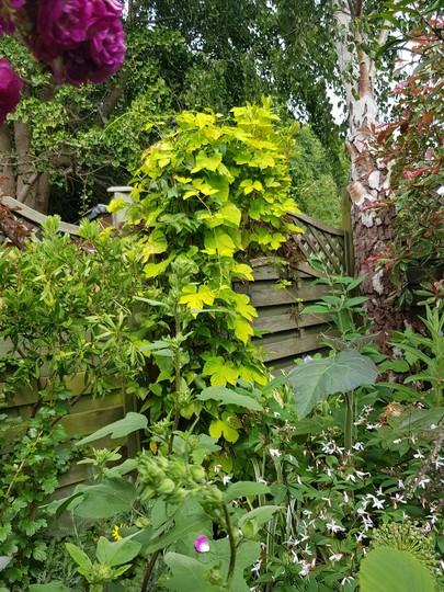 Golden hop...... (Humulus lupulus (Golden Hop))