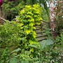 Humulus lupulus (Golden Hop)
