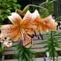 Lilies in container Tiger Babies.....