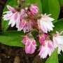 Deutzia_strawberry_fields