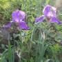 Grape Koolaid Iris