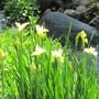 Siberian Iris Butter and Sugar