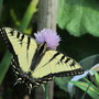 Yellow Swallowtails love the chives