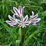 Crinum 'Stars and Stripes'  (Crinum)