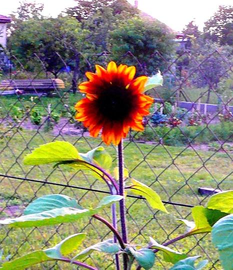 Hungarian sunset 3 (Helianthus annuus (Sunflower))