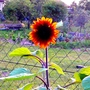 Hungarian sunset 3 (Helianthus annuus (Sunflower))