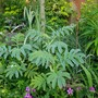 Melianthus and Cabaret.... (Melianthus major (Honey bush))