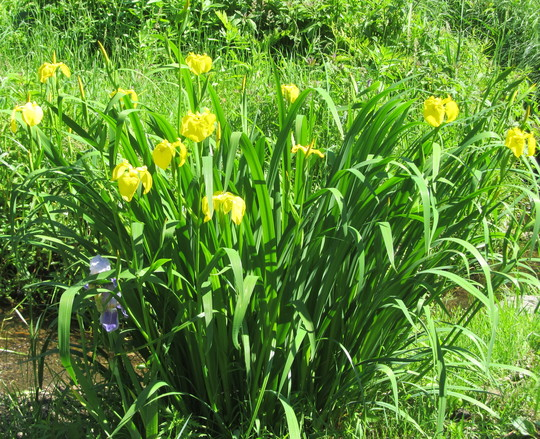 expected to lose this clump of water iris