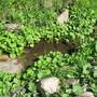 Ligularia seedlings