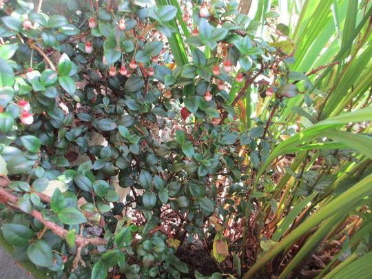 Chilean Guava (Update for my File) (Ugni molinae)
