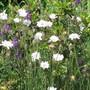 Catanache caerulea bicolour (Catanache caerulea)