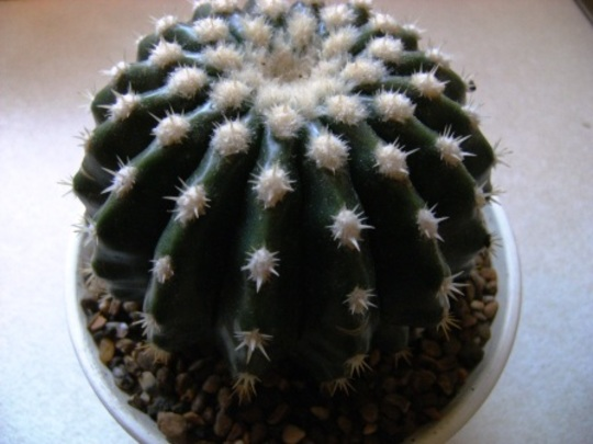 Echinocactus grusonii v.brevispinus (Echinocactus grusonii v.brevispinus)