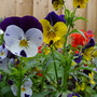 Violas still flowering well