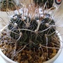 Stenocactus wippermannii (Stenocactus wippermanii)