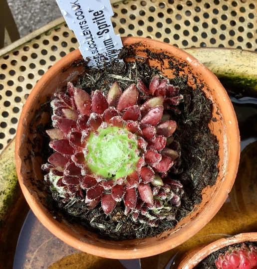 Sempervivum 'Sprite'