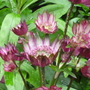 Astrantia Jill Richardson (Astrantia major (Masterwort))