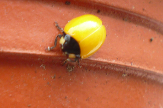 freshly pupated ladybird