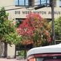 Local exotic tree. The Australian Flame tree. (Brachychiton acerifolius)