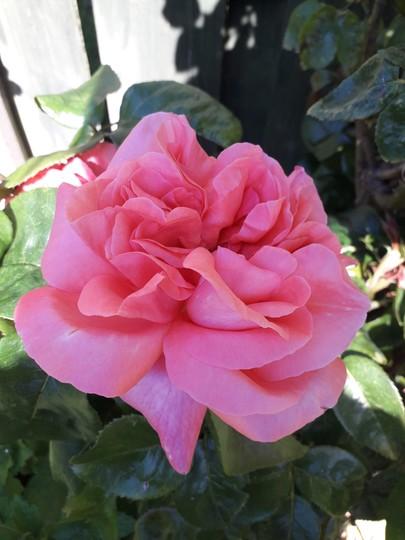 Floribunda pink rose