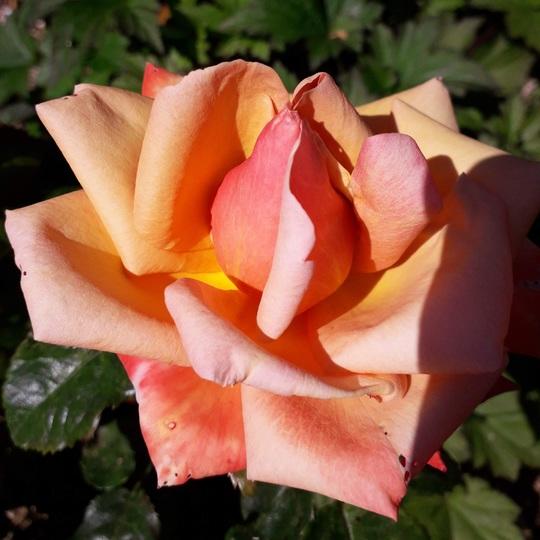 Orange floribunda