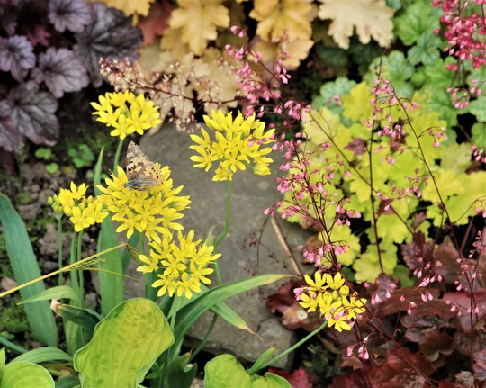 Allium 'Moly' with Heucheras and Painted Lady (Allium 'Moly')