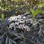 Sambucus nigra 'Black Lace' - 2019 (Sambucus nigra 'Black Lace')