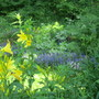 lemon lilies, stumps, ajuga and ferns