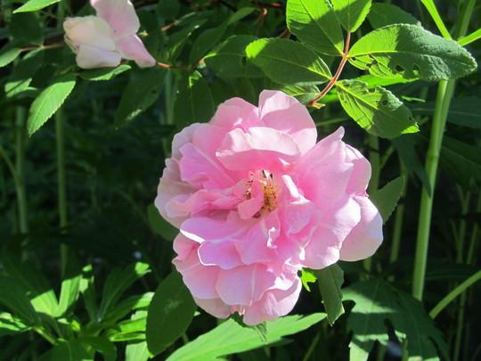 briar rose..Therese Bugnet