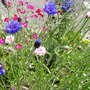 My Cornflowers I grew from seed.