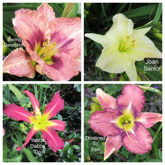 My Existing Daylilies (Hemerocallis)