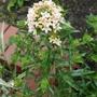 Collomia grandiflora - 2019