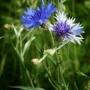 Blue Cornflower (Centaurea cyanus (Cornflower))