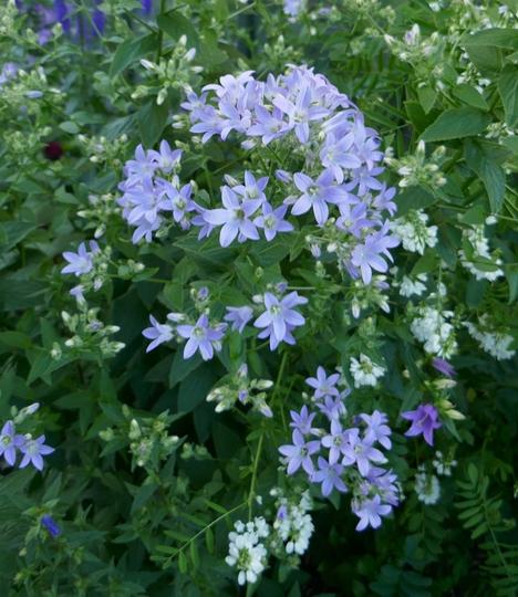 Campanula lactiflora 'Border Blues' - 2019 (Campanula lactiflora)