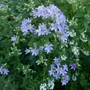 Campanula_lactiflora_border_blues_2019