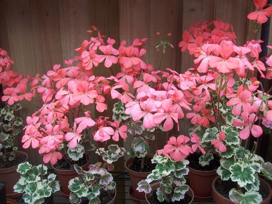 Pelargonium cuttings taken last year.