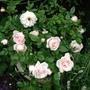 image Rose ( in pot)