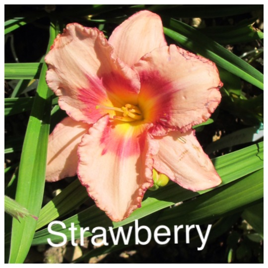 Hemerocallis (UNNAMED)Strawberry update for my File (Hemerocallis)