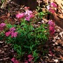 Spirea 'Anthony Waterer'.....for Lori.Promised to show you when it flowered.