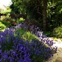 Lavender showing a much more intense colour.
