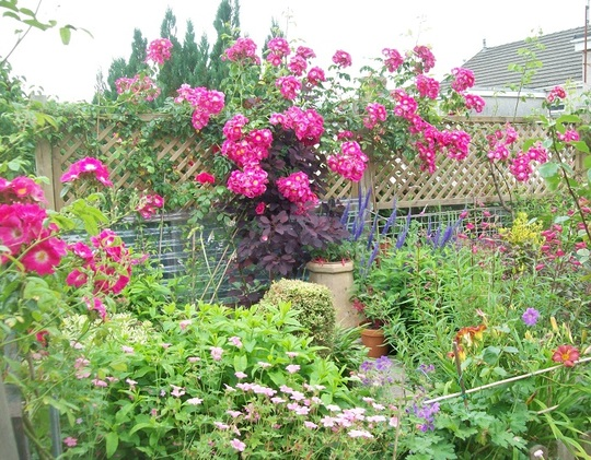 Garden view with Rosa American Pillar growing along the trellises.