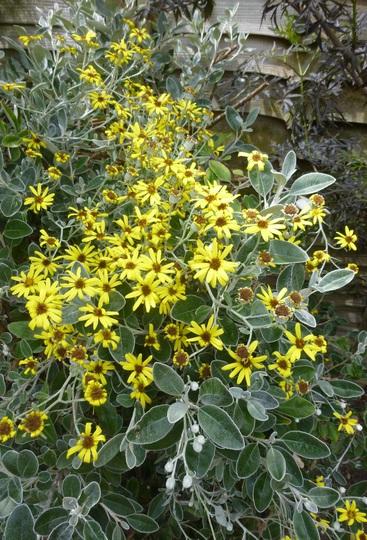 Brachyglottis 'Sunshine' (Brachyglottis compacta (Senecio))