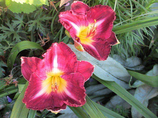 Hemerocallis (UNNAMED) Burgundy (For my File) (Hemerocallis)