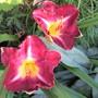 Hemerocallis (UNNAMED) Burgundy (For my File) (Hemerocallis)