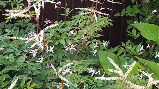 Gillenia trifoliata with Aruncus Haratio