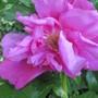 Rose T.Bugnet 2