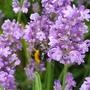 Bee on lavender  (Lavandula angustifolia (Lavender))