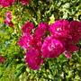 Rambling rose cluster